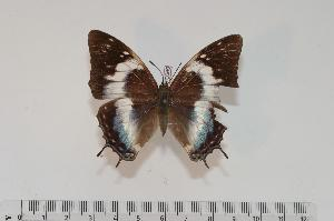(Charaxes kheili f.curvilinea - BC-Turl -0069)  @13 [ ] Unspecified (default): All Rights Reserved  Unspecified Unspecified