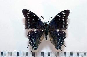 (Charaxes gallagheri - BC-Turl -0077)  @14 [ ] Unspecified (default): All Rights Reserved  Unspecified Unspecified