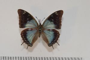 (Charaxes diversiforma f.caerulescens - BC-Turl -0083)  @13 [ ] Unspecified (default): All Rights Reserved  Unspecified Unspecified