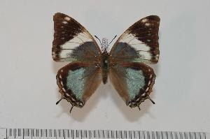 (Charaxes subrubidus f.atribasis - BC-Turl -0085)  @14 [ ] Unspecified (default): All Rights Reserved  Unspecified Unspecified