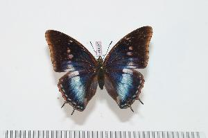 (Charaxes virilis virilis f.blandini - BC-Turl -0086)  @14 [ ] Unspecified (default): All Rights Reserved  Unspecified Unspecified