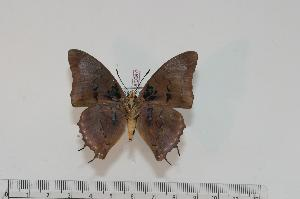 (Charaxes virilis virilis - BC-Turl -0087)  @13 [ ] Unspecified (default): All Rights Reserved  Unspecified Unspecified