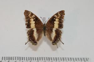 (Charaxes bernstorffi - BC-Turl -0093)  @13 [ ] Unspecified (default): All Rights Reserved  Unspecified Unspecified