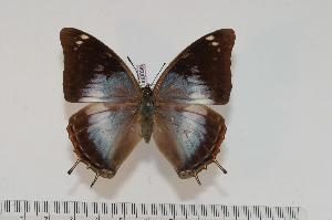 (Charaxes chintechi f.chintechi - BC-Turl -0096)  @15 [ ] Unspecified (default): All Rights Reserved  Unspecified Unspecified
