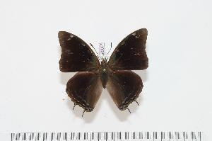 (Charaxes chintechi - BC-Turl -0097)  @14 [ ] Unspecified (default): All Rights Reserved  Unspecified Unspecified