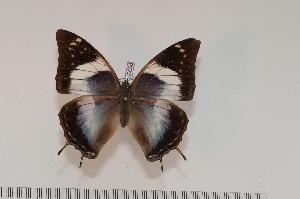 (Charaxes chintechi f.pseudomanica - BC-Turl -0098)  @15 [ ] Unspecified (default): All Rights Reserved  Unspecified Unspecified