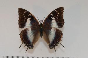 (Charaxes usambarae usambarae f.collinsi - BC-Turl -0104)  @14 [ ] Unspecified (default): All Rights Reserved  Unspecified Unspecified