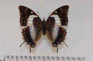(Charaxes usambarae usambarae f.usambar - BC-Turl -0105)  @14 [ ] Unspecified (default): All Rights Reserved  Unspecified Unspecified
