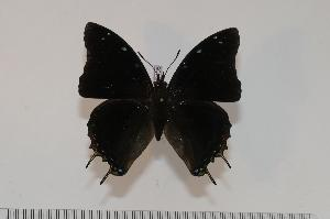 (Charaxes usambarae maridadi - BC-Turl -0108)  @14 [ ] Unspecified (default): All Rights Reserved  Unspecified Unspecified