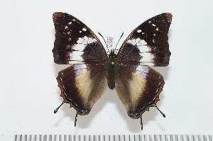 (Charaxes usambarae maridadi f.bella - BC-Turl -0109)  @14 [ ] Unspecified (default): All Rights Reserved  Unspecified Unspecified