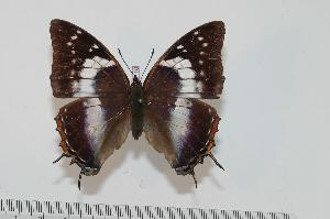 (Charaxes usambarae maridadi f.pseudorosae - BC-Turl -0110)  @14 [ ] Unspecified (default): All Rights Reserved  Unspecified Unspecified