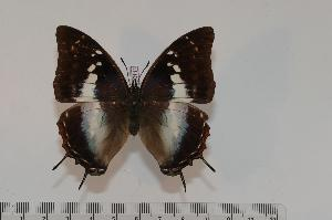 (Charaxes usambarae maridadi f.maridadi - BC-Turl -0111)  @14 [ ] Unspecified (default): All Rights Reserved  Unspecified Unspecified