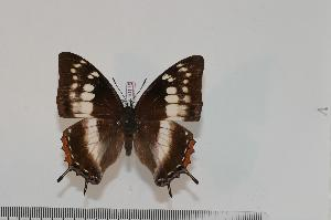 (Charaxes pembanus - BC-Turl -0115)  @15 [ ] Unspecified (default): All Rights Reserved  Unspecified Unspecified