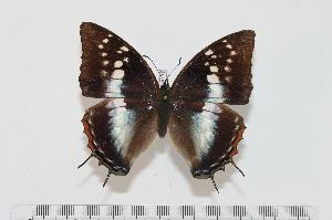 (Charaxes mccleeryi - BC-Turl -0118)  @15 [ ] Unspecified (default): All Rights Reserved  Unspecified Unspecified