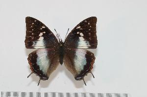 (Charaxes chunguensis - BC-Turl -0123)  @14 [ ] Unspecified (default): All Rights Reserved  Unspecified Unspecified