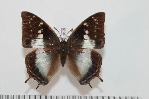(Charaxes congdoni - BC-Turl -0126)  @14 [ ] Unspecified (default): All Rights Reserved  Unspecified Unspecified