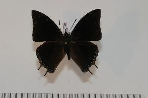 (Charaxes margaretae - BC-Turl -0128)  @14 [ ] Unspecified (default): All Rights Reserved  Unspecified Unspecified