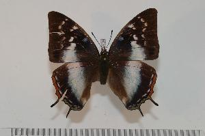 (Charaxes margaretae - BC-Turl -0129)  @14 [ ] Unspecified (default): All Rights Reserved  Unspecified Unspecified
