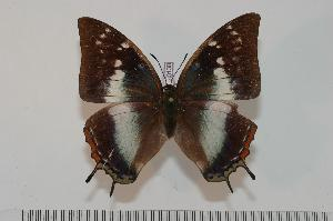 (Charaxes margaratae - BC-Turl -0130)  @14 [ ] Unspecified (default): All Rights Reserved  Unspecified Unspecified