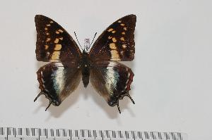 (Charaxes berkeleyi berkeleyi - BC-Turl -0133)  @15 [ ] Unspecified (default): All Rights Reserved  Unspecified Unspecified