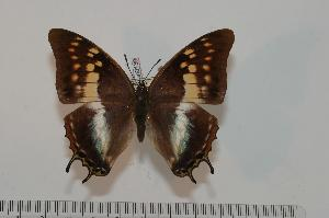 (Charaxes evansi - BC-Turl -0138)  @15 [ ] Unspecified (default): All Rights Reserved  Unspecified Unspecified