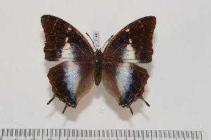 (Charaxes karkloof karkloof - BC-Turl -0144)  @14 [ ] Unspecified (default): All Rights Reserved  Unspecified Unspecified