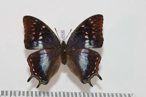(Charaxes marieps - BC-Turl -0148)  @15 [ ] Unspecified (default): All Rights Reserved  Unspecified Unspecified