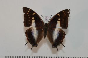 (Charaxes pondoensis - BC-Turl -0151)  @15 [ ] Unspecified (default): All Rights Reserved  Unspecified Unspecified