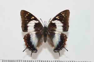 (Charaxes contrarius f.rosae - BC-Turl -0157)  @14 [ ] Unspecified (default): All Rights Reserved  Unspecified Unspecified