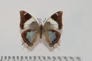 (Charaxes manica - BC-Turl -0172)  @14 [ ] Unspecified (default): All Rights Reserved  Unspecified Unspecified