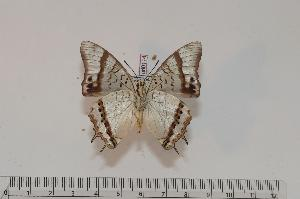 (Charaxes thysi - BC-Turl -0174)  @14 [ ] Unspecified (default): All Rights Reserved  Unspecified Unspecified