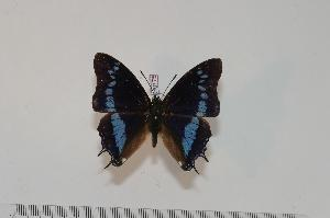 (Charaxes thysi - BC-Turl -0175)  @14 [ ] Unspecified (default): All Rights Reserved  Unspecified Unspecified