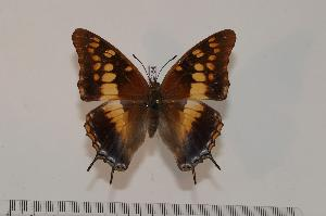 (Charaxes guderiana - BC-Turl -0184)  @15 [ ] Unspecified (default): All Rights Reserved  Unspecified Unspecified