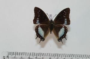 (Charaxes baumanni baumanni - BC-Turl -0185)  @14 [ ] Unspecified (default): All Rights Reserved  Unspecified Unspecified