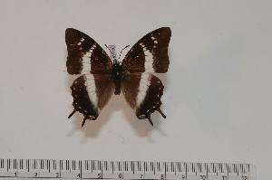(Charaxes baumanni baumanni - BC-Turl -0186)  @14 [ ] Unspecified (default): All Rights Reserved  Unspecified Unspecified