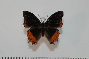 (Charaxes anticlea anticlea - BC-Turl -0187)  @14 [ ] Unspecified (default): All Rights Reserved  Unspecified Unspecified