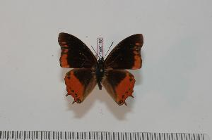 (Charaxes anticlea mwera - BC-Turl -0188)  @14 [ ] Unspecified (default): All Rights Reserved  Unspecified Unspecified