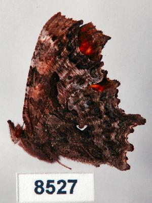 (Polygonia calbum - CSG08527)  @13 [ ] Unspecified (default): All Rights Reserved  Unspecified Unspecified