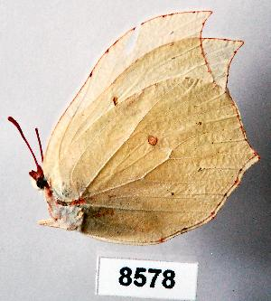 (Gonopteryx - CSG08578)  @13 [ ] Unspecified (default): All Rights Reserved  Unspecified Unspecified