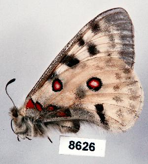 (Parnassius apollo - CSG08626)  @14 [ ] Unspecified (default): All Rights Reserved  Unspecified Unspecified