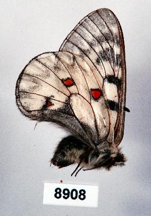 (Parnassius clarius - CSG08908)  @13 [ ] Unspecified (default): All Rights Reserved  Unspecified Unspecified