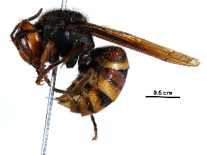 (Vespa analis - BIOUG26171-A09)  @11 [ ] CreativeCommons - Attribution Non-Commercial Share-Alike (2017) CBG Photography Group Centre for Biodiversity Genomics