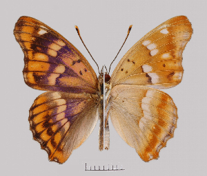 (Apaturinae - RVcoll.08-M779)  @16 [ ] Copyright (2010) Unspecified Institute of Evolutionary Biology