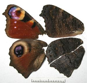 (Aglais - RV-08-A008)  @16 [ ] Copyright (2010) Unspecified Institute of Evolutionary Biology