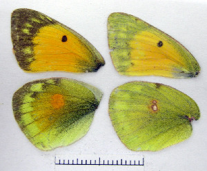 ( - RVcoll.07-C136)  @11 [ ] Copyright (2010) Butterfly Study Group at IBE Institute of Evolutionary Biology