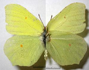 (Gonepteryx rhamni - RV-07-E652)  @16 [ ] Copyright (2010) Unspecified Institute of Evolutionary Biology