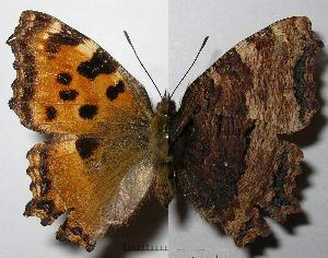 (Nymphalis - RV-07-E664)  @16 [ ] Copyright (2010) Butterfly Study Group at IBE Institute of Evolutionary Biology