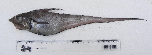 (Coelorhynchus marinii - UNMDP T 929)  @11 [ ] Unspecified (default): All Rights Reserved  Unspecified Unspecified