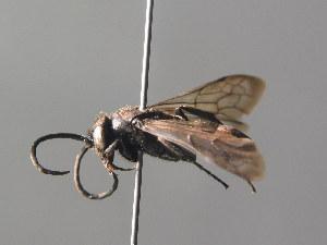 (Eoferreola - BC ZSM HYM 05412)  @14 [ ] CreativeCommons - Attribution Non-Commercial Share-Alike (2010) Stefan Schmidt ZSM (Zoologische Staatssammlung Muenchen)
