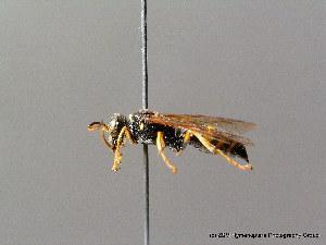 (Gorytes laticinctus - BC ZSM HYM 08066)  @14 [ ] CreativeCommons - Attribution Non-Commercial Share-Alike (2010) Stefan Schmidt ZSM (Zoologische Staatssammlung Muenchen)